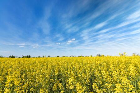 photo canola field  bright hot summer day landscape in nature Banco de Imagens