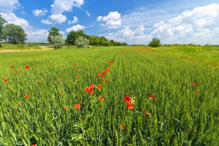 bright day red poppies on green field  wild flowers natural beauty