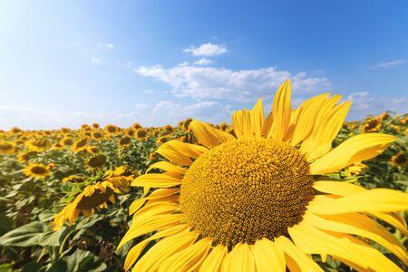 Sunflower flower close-up  evening photo nature at dusk field of ukraine