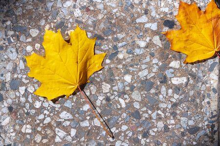 autumn maple leaves  background photos mid autumn