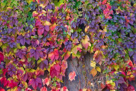 autumn wild grape leaves mid autumn  local beauty nature Ukraine