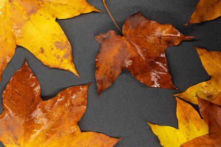 autumn maple leaves  background photos