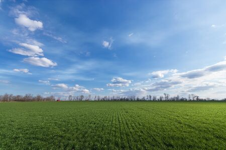 green young wheat field  bright Sunny day agriculture