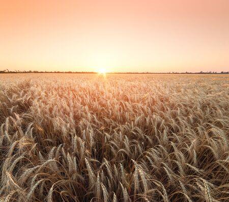 wheat at sunset evening photo  fields of Ukraine evening landscape