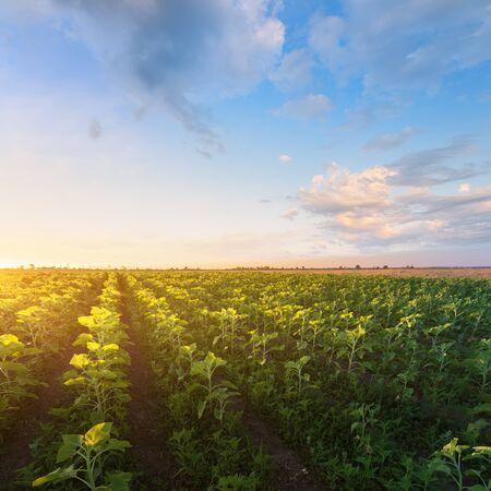 young sunflower evening sunset  fields of Ukraine natural beauty