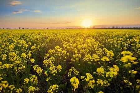 bright colorful sunset field canola / bright colors spring landscape 版權商用圖片