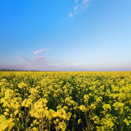 canola on the background of blue ned / bright spring landscape of the field of Ukraine