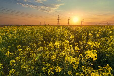 bright colorful sunset canola field /power lines on sunset background