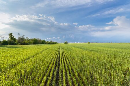 wheat field and bright cloudy sky / rural landscapes