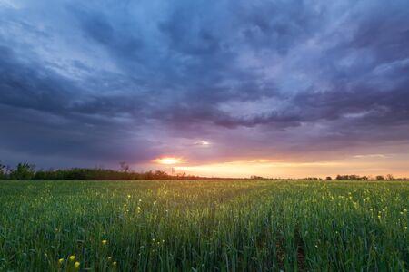 tarwe zonsondergang / landbouw tarweveld tijdens zonsondergang