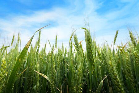 wheat ear macro photo / crop field agriculture