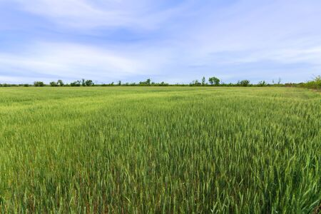 field of young wheat / fields of Ukraine agriculture 版權商用圖片