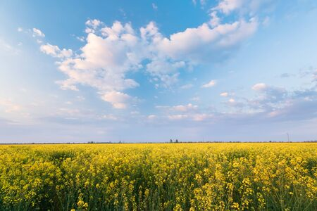 photo canola field . bright hot summer day landscape in nature