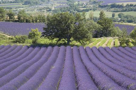 Field of lavender - Valley of Sainte Jalle