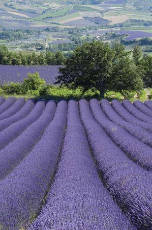 industrie: Field of lavender - Valley of Sainte Jalle