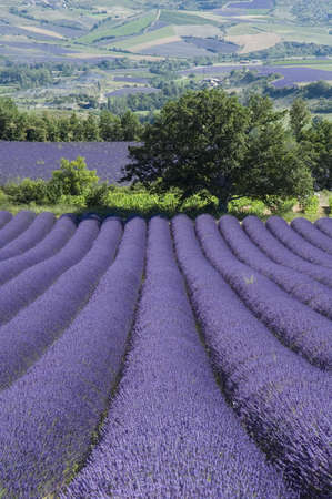 Field of lavender - Valley of Sainte Jalle Stock Photo - 1888297