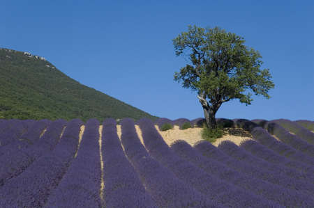 industrie: Almond-tree to surroundings of a lavender Field - Valley of Sainte Jalle Stock Photo