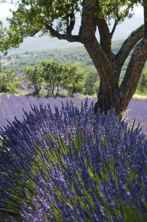 Almond-tree to surroundings of a lavender Field - Valley of Sainte Jalle Stock Photo