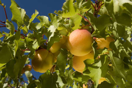 fruit apricot on tree - village of The Poet Sigillat - Valley of Sainte Jalle photo