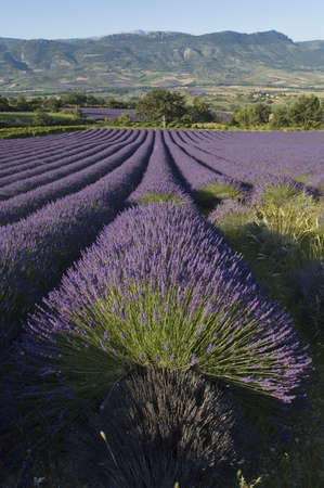field of lavender toward village of Saint Savior Gouvernet - Valley of Sainte Jalle Stock Photo