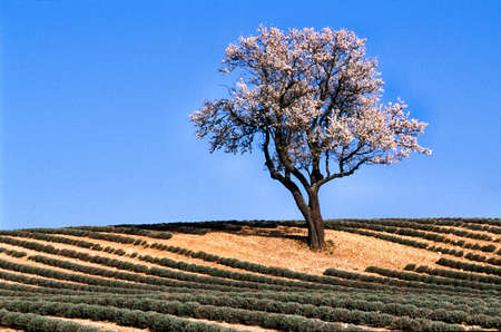 Almond-tree in bloom to the middle of a lavender field photo