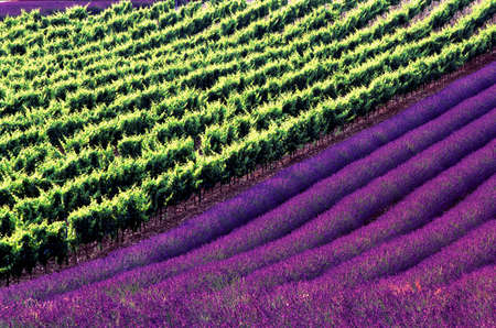 symmetry grapevines and lavenders Stock Photo