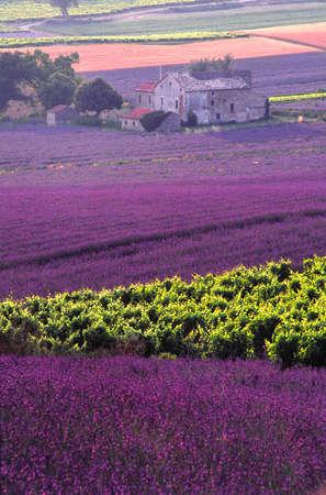 landscape of lavender in Provence