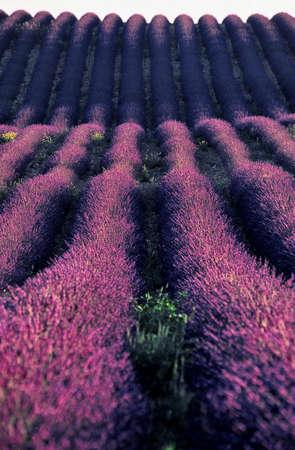 Provencal lavender curling