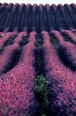 provencal: Provencal lavender curling
