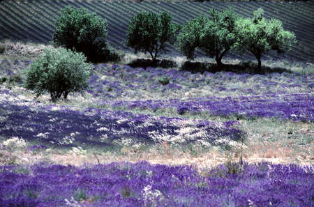 lavender downwind