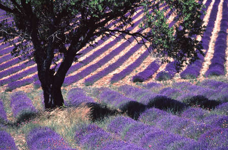 vaucluse: plantation of lavenders Stock Photo