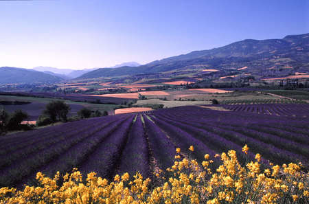 Provencal landscape with plantations of lavenders Stock Photo