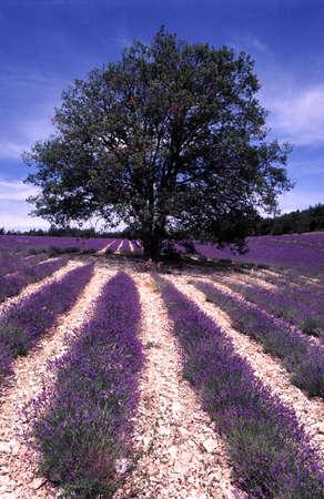 plantation of lavenders Stock Photo