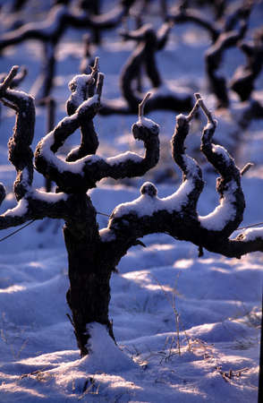 snow-covered grapevine feet photo