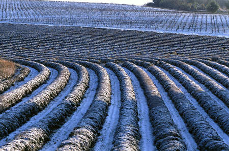 field of snow-covered lavender
