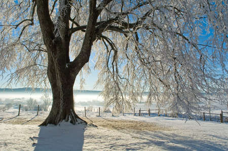The big tree under snow photo
