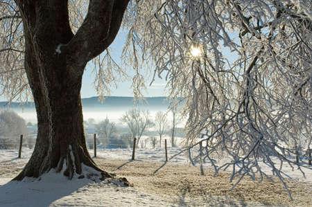 whiteness: The big tree under snow