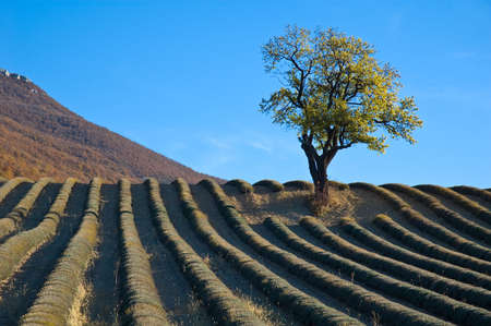 almond-tree lone tree on a hill to the middle of a lavender field
