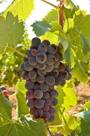 grape on foot photo