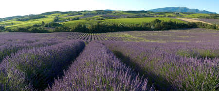 landscape field of lavender - Provence