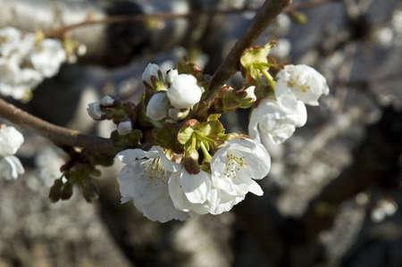 cherrytree: Flowers of cherry-tree Stock Photo