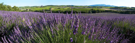 Panoramic - Field of lavender - Yards - Enclave of Popes Vaucluse - France photo