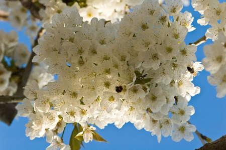 cherrytree: Cherry-tree in bloom