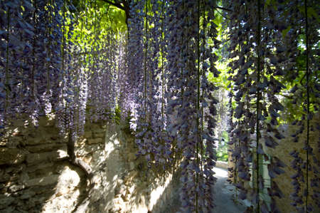 glycine: alley under flowers of glycines