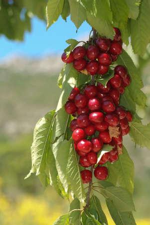 shady: cherries on the tree