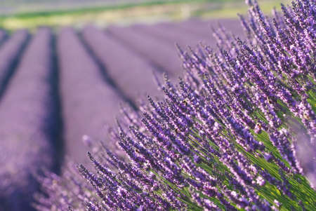 provencal: field of lavenders in bloom - France - Provencal Drome