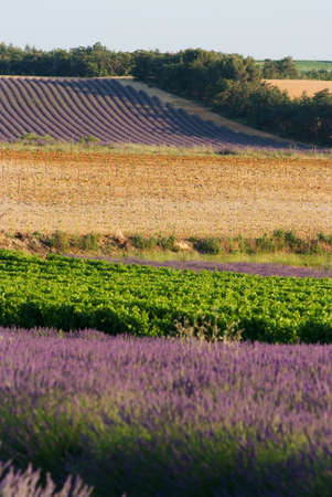 field of lavenders in bloom - France - Provencal Drome Stock Photo - 3267708