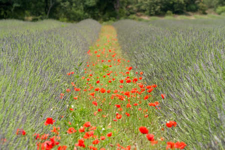 poppies in field of lavender Stock Photo - 3508396