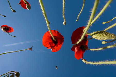poppies in fields photo