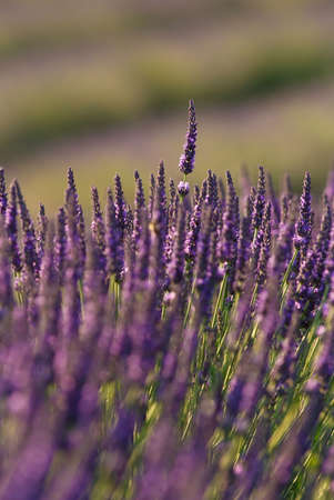 field of lavenders in bloom - France - Provencal Drome